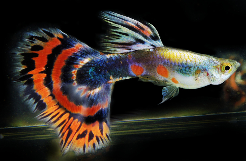Guppy Platinum Half Moon Dragon 0001