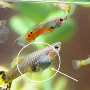 Is My Guppy Pregnant 2688 1 600